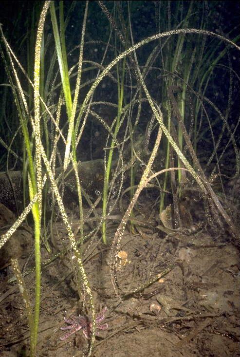 eelgrass habitat